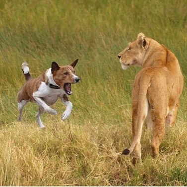 Lion And Dog Fight Video